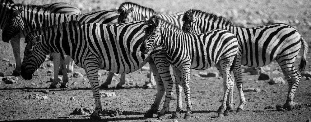 black and white zebras on desert