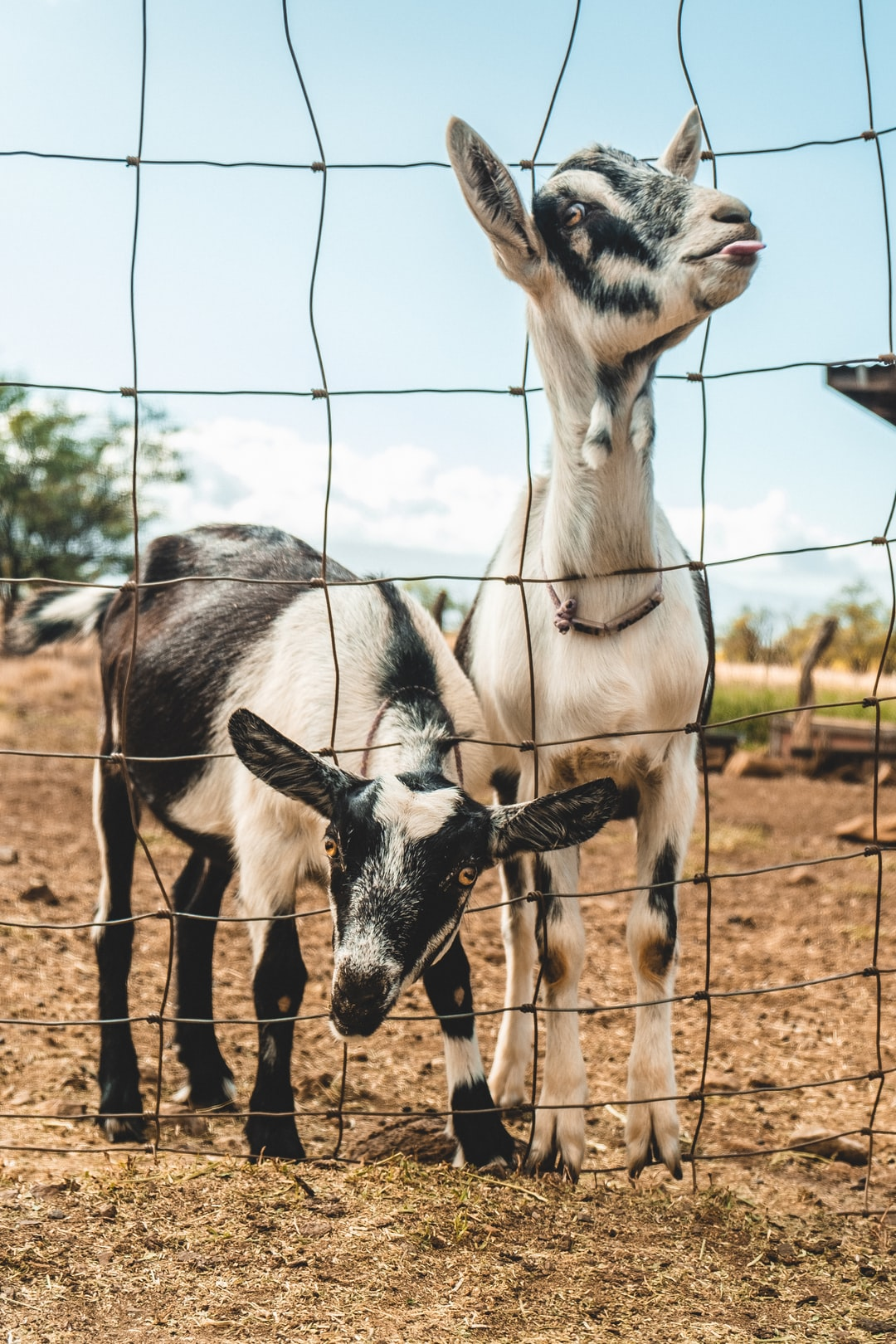 Two black and white goats look at the camera through a fence. One sticks its tongue out.