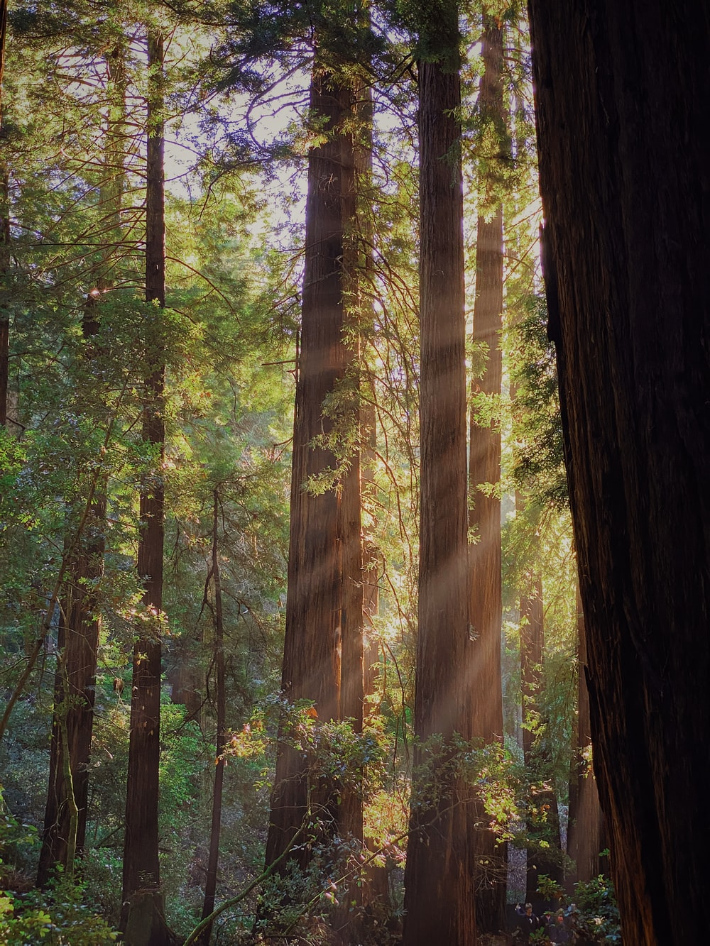 green-leafed forest trees with sun rays
