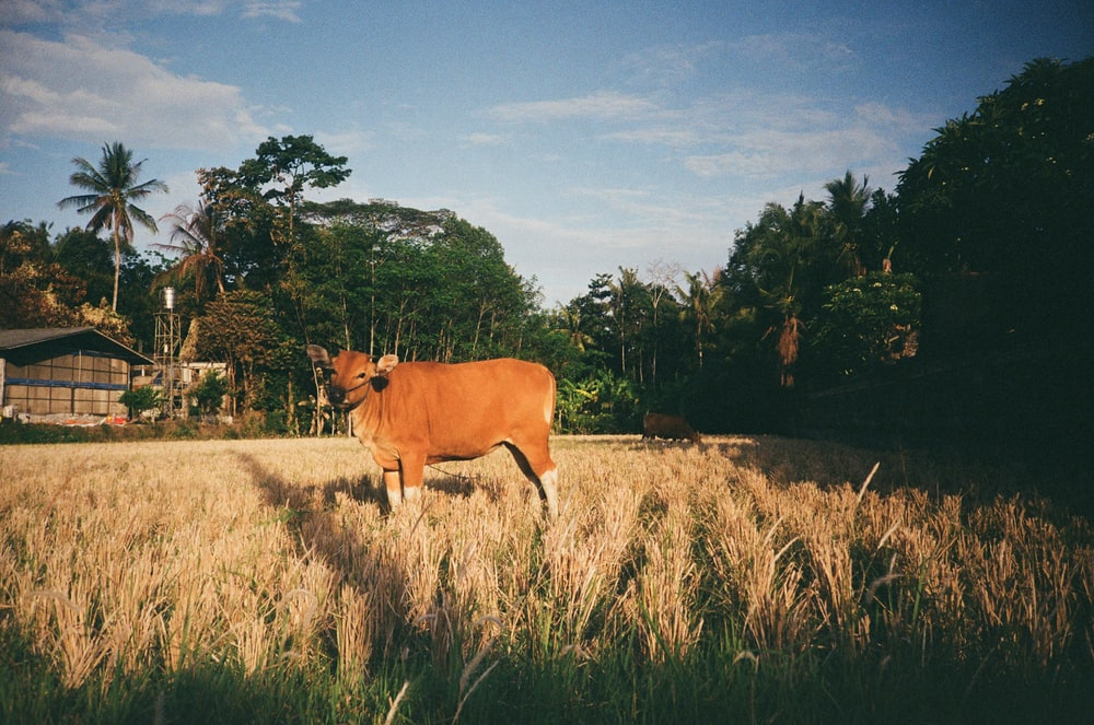 brown and white cattle on green grass during daytime