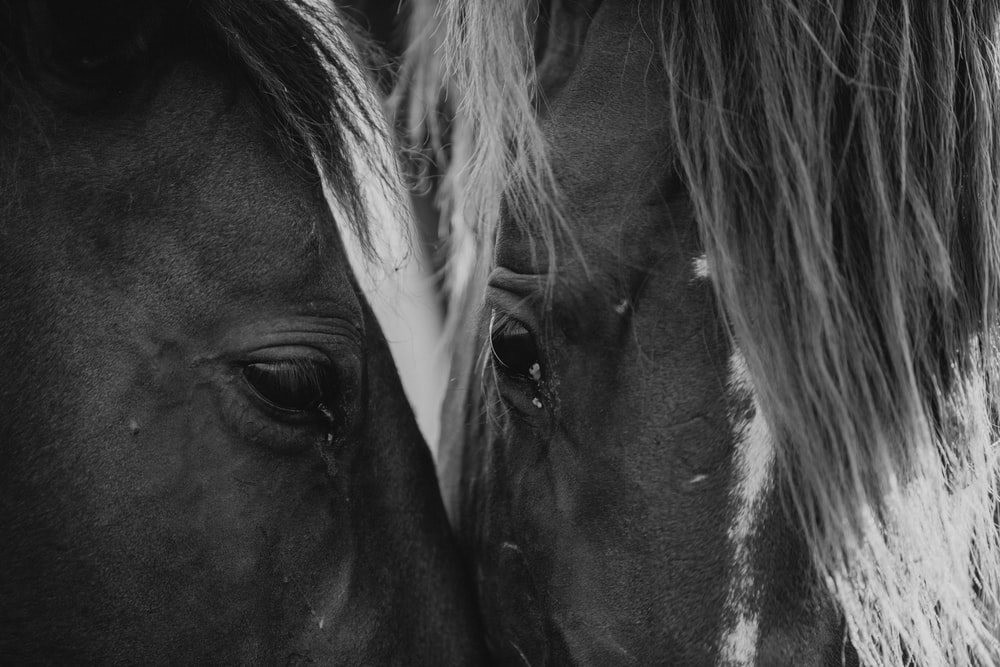 grayscale photography of two horses