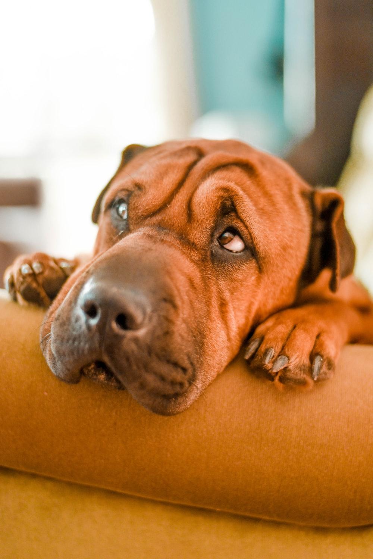 selective focus photography of brown dog on sofa
