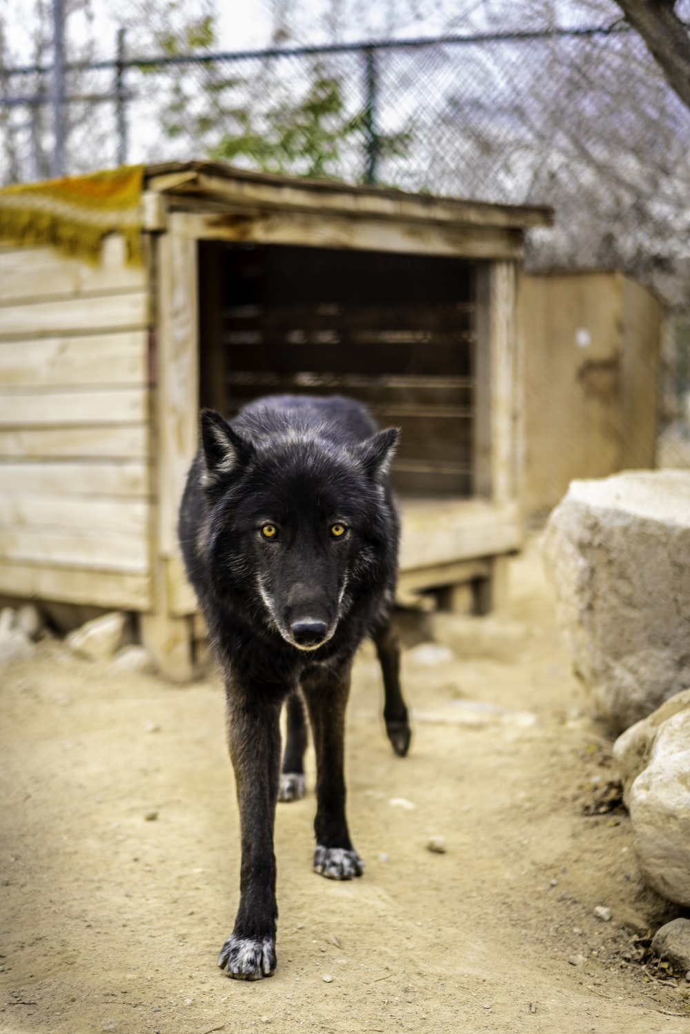 black wolf in front of brown wooden pet house