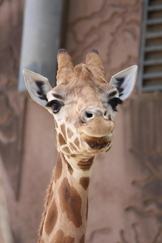giraffe near wall
