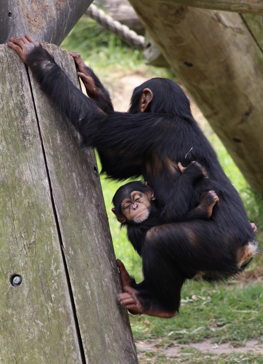 baby hugging chimpanzee hanging on wooden frame