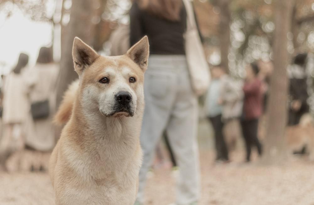 adult Canaan dog