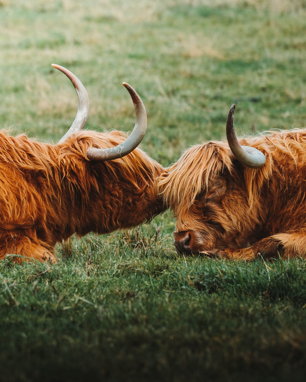 selective focus photography of two cattles
