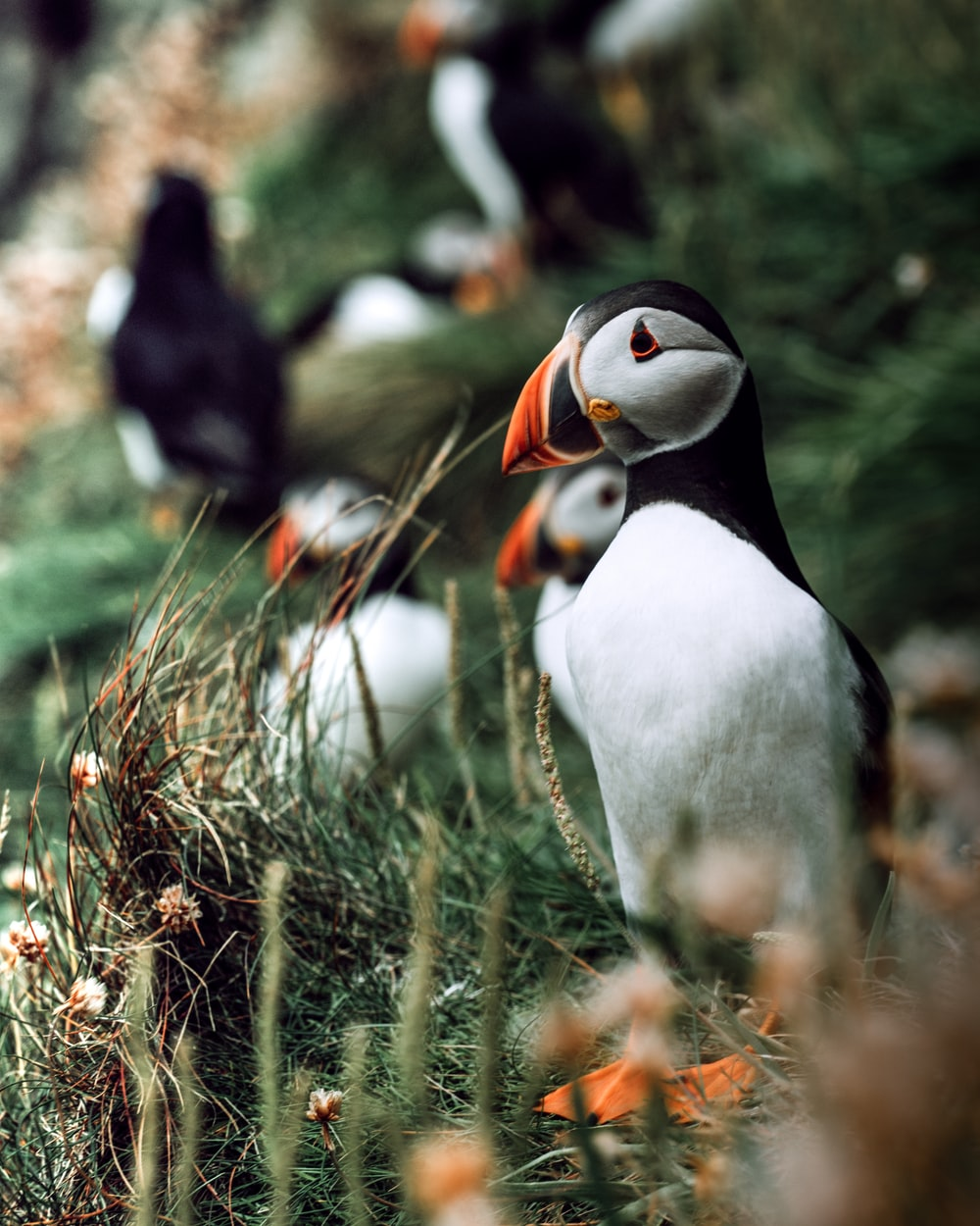 selective focus photography of white-and-black penguins on green grass