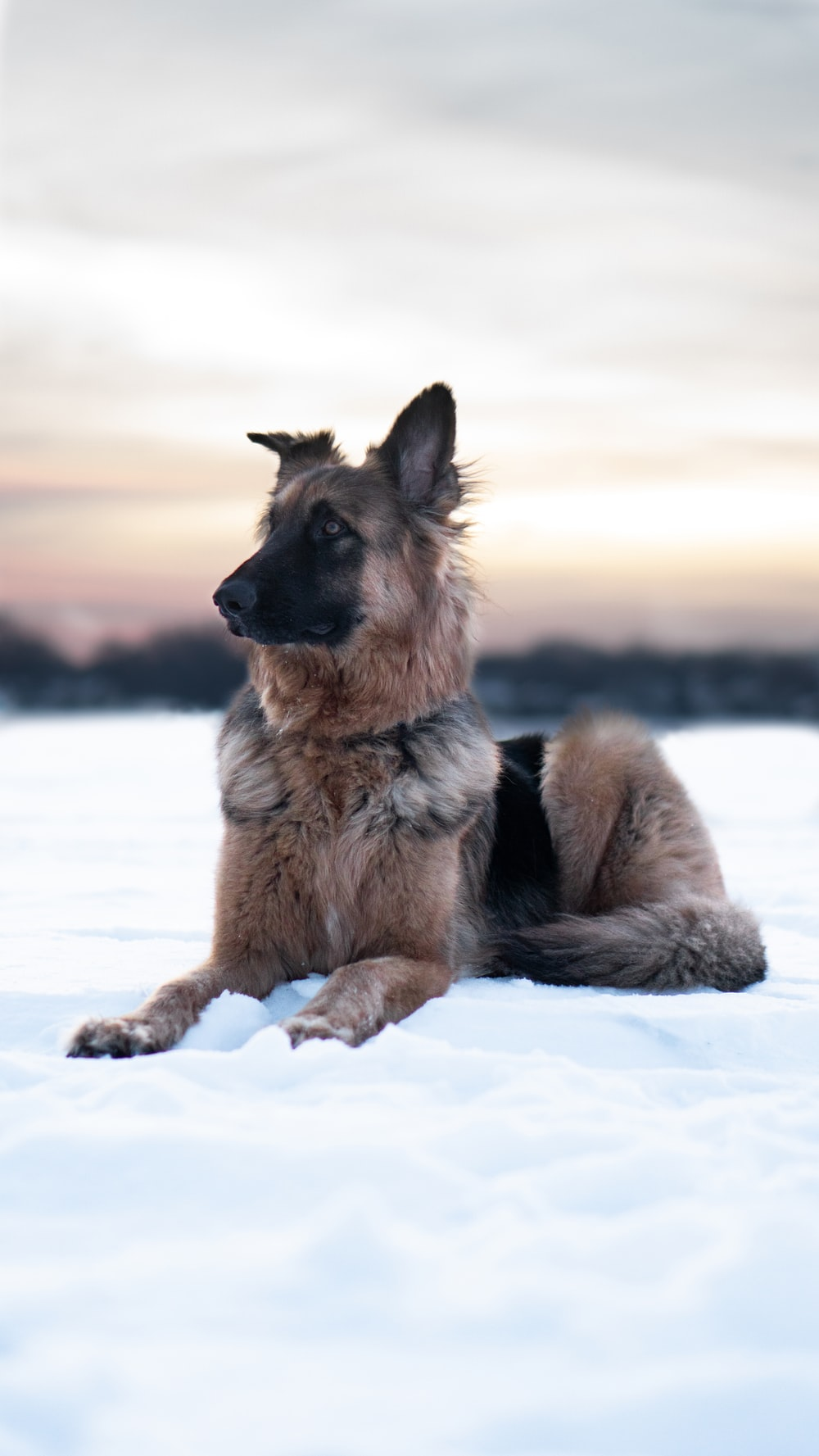 dog lying on snow covered ground