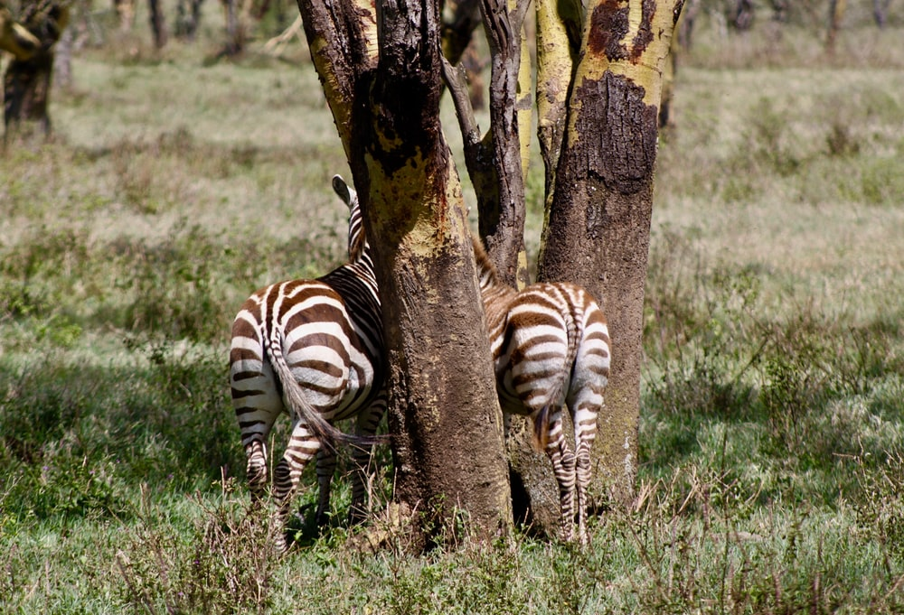 two zebras under tree