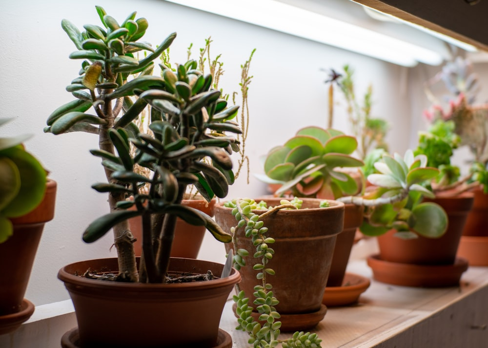 green succulent plants in brown pot
