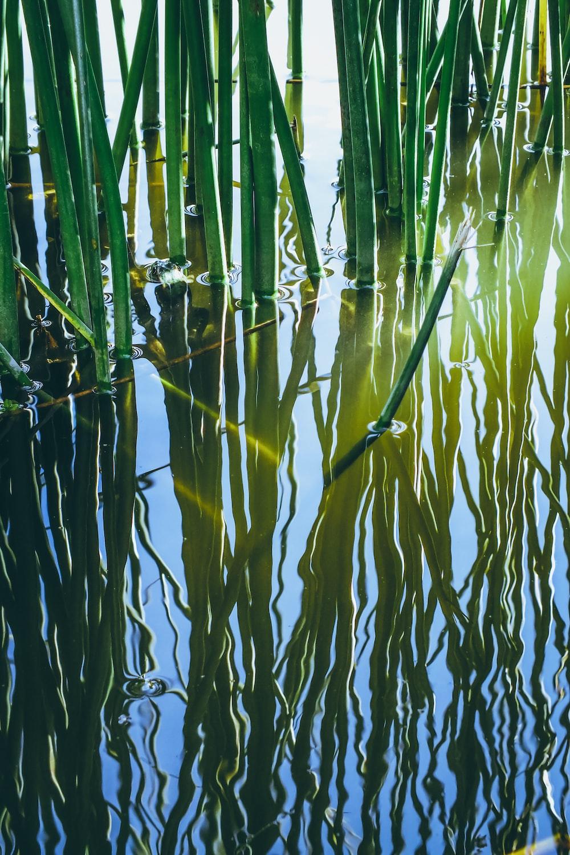 bamboo grass photograph