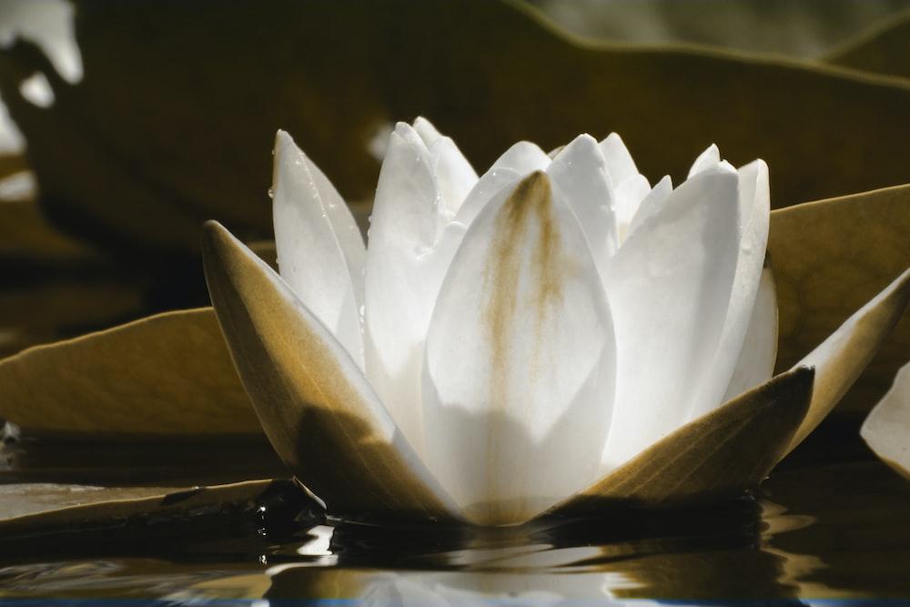 white lotus flower photograph