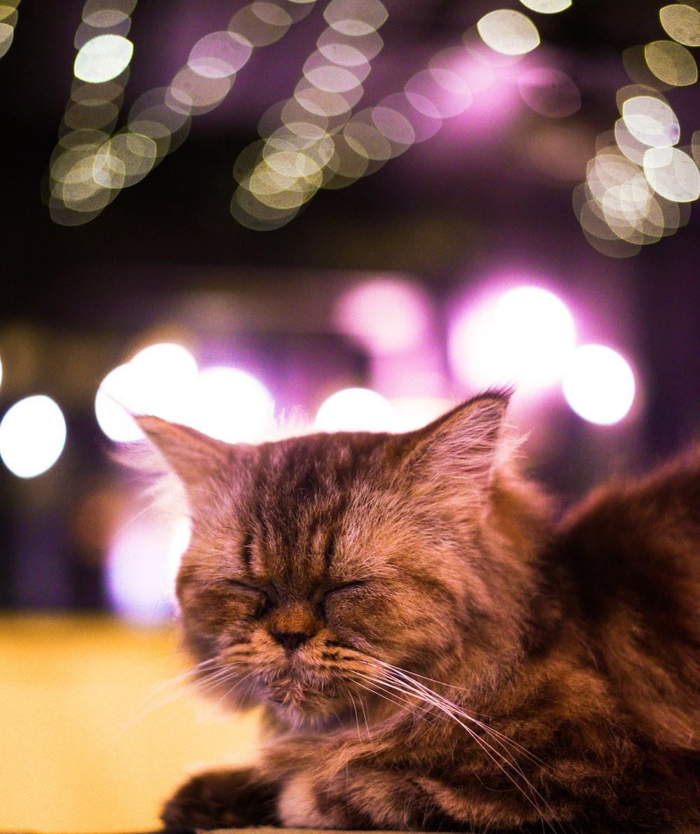 brown tabby cat closes eyes