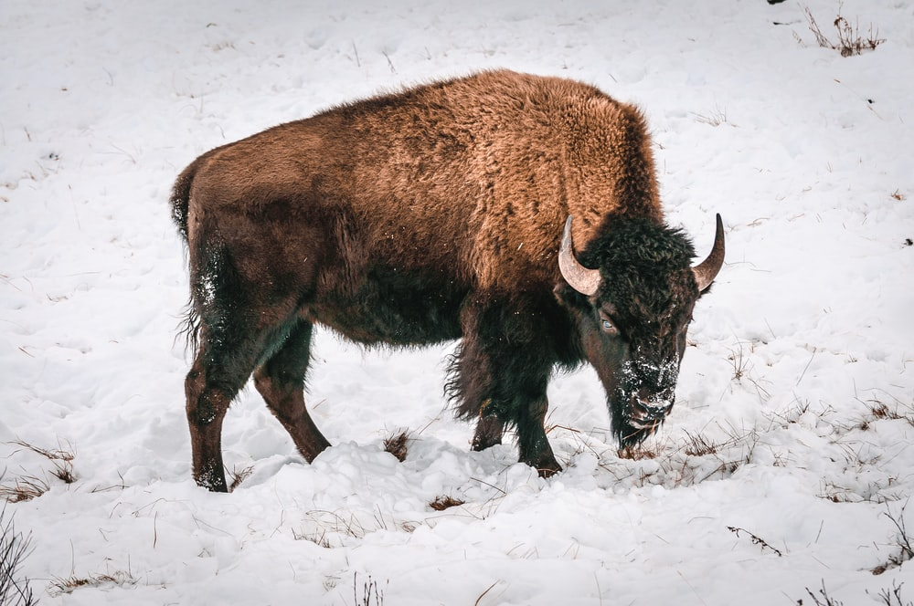 brown yak on snow