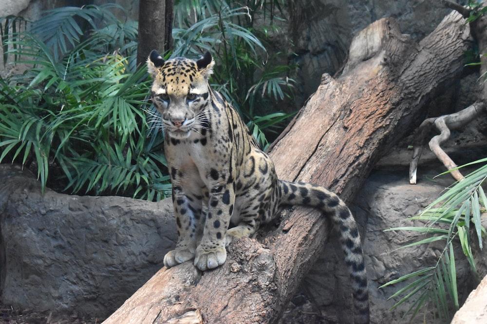 Clouded leopard on tree trunk
