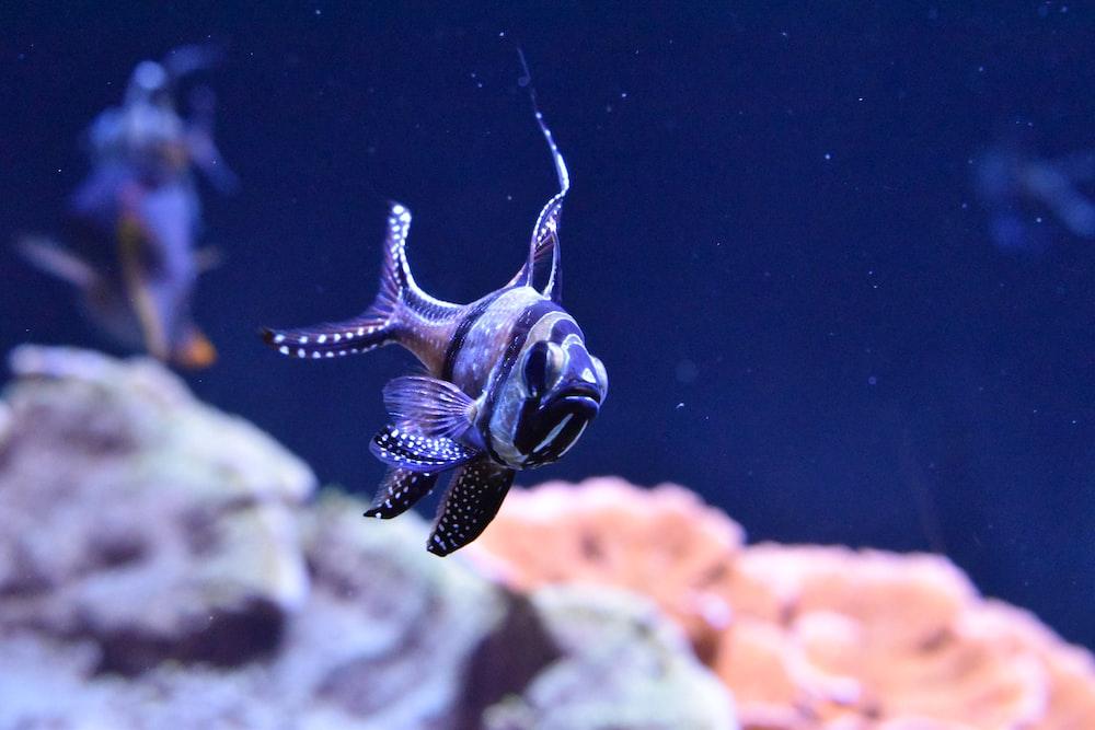 black coral reef fish