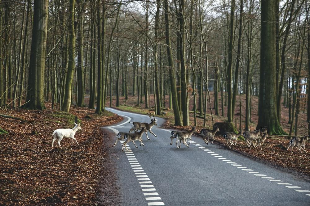 animal passing on road
