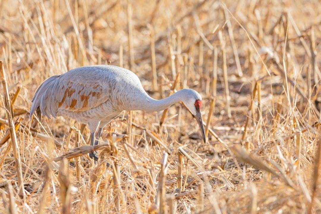 Sandhill Crane In A Field.  - unsplash