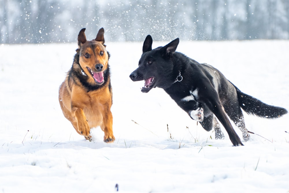 brown and black dogs running on snow
