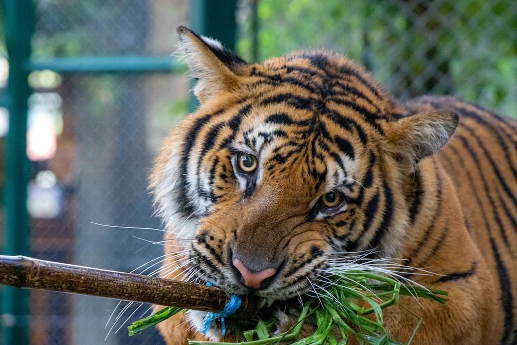 A click of a tiger