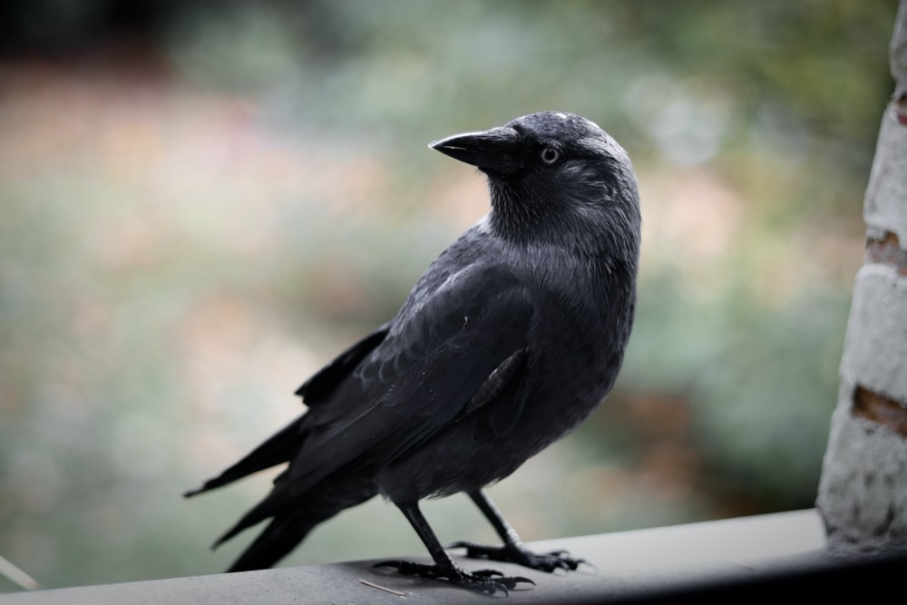 black crow standing on brick
