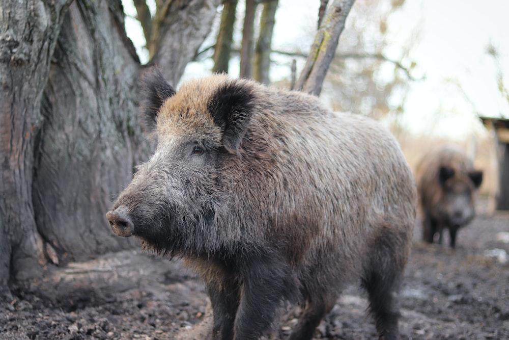 gray wild boar