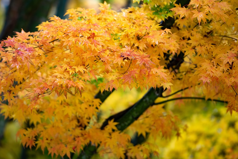 yellow leaf tree