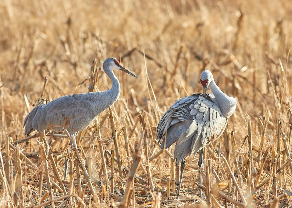 two gray crane birds