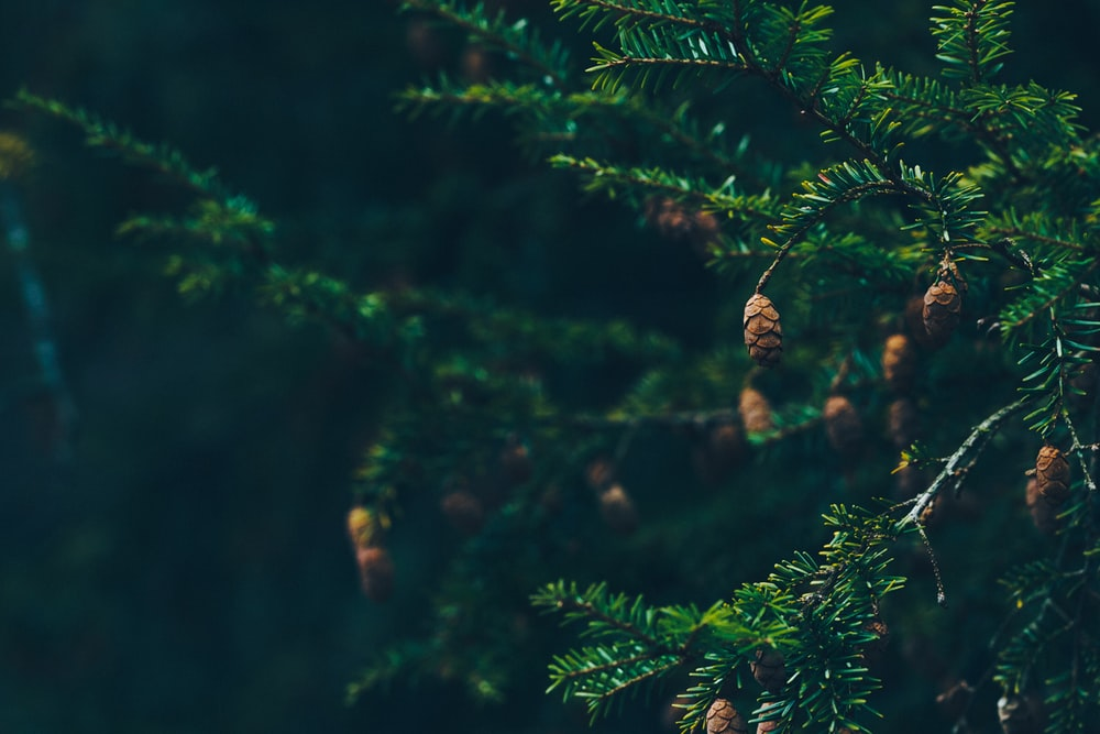 green pine trees with pine cones