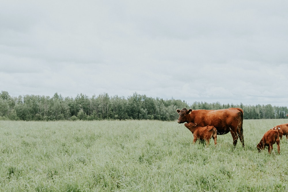 brown cattle on green field surrounded with green trees under white and blue sky