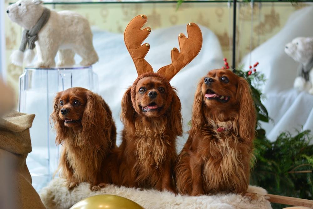 three brown Cocker Spaniel dogs
