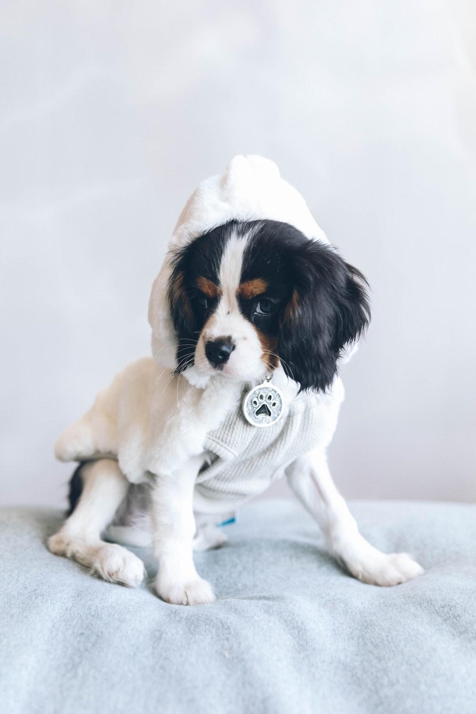 adult Cavalier King Charles Spaniel dog