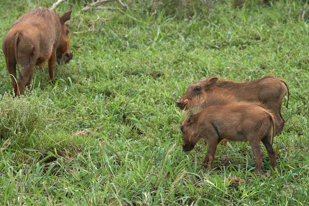 three brown wild boars