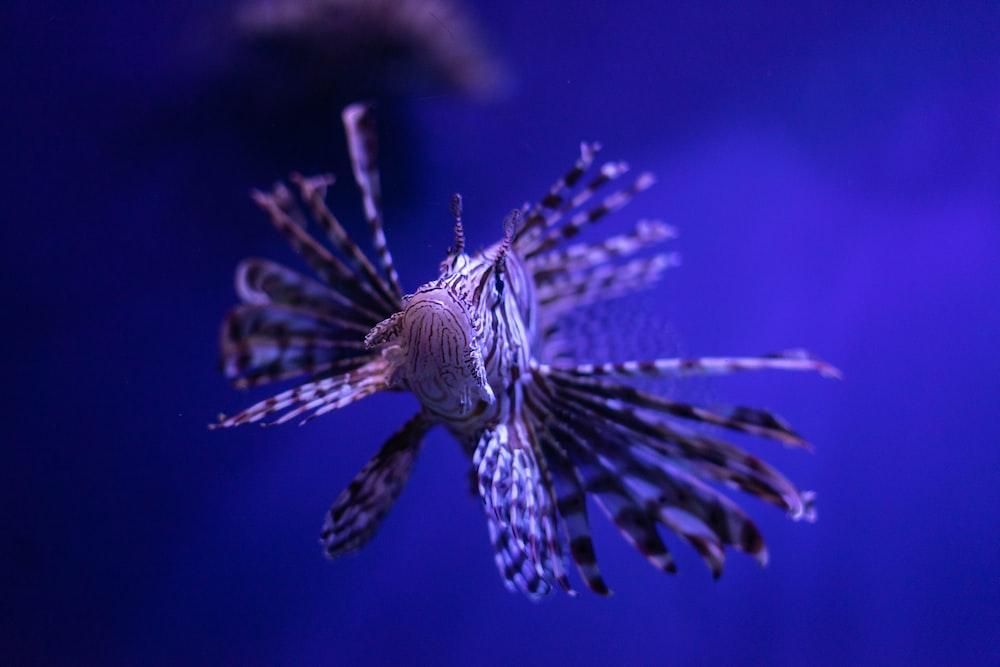 pterois underwater