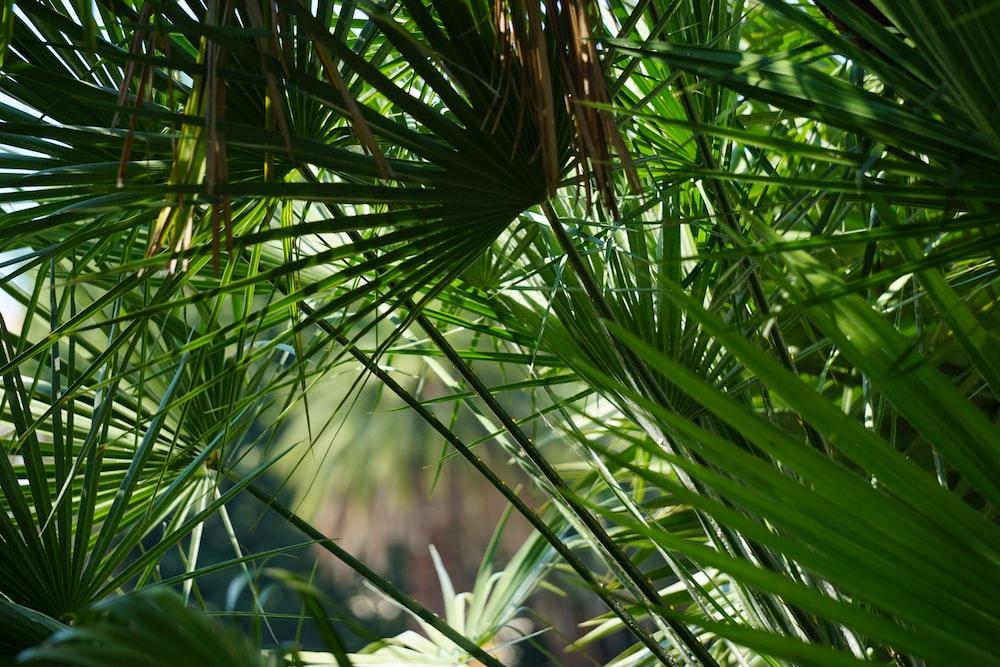 green fan palm plant