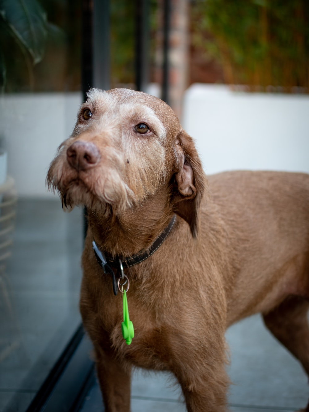 adult brown pudelpointer dog