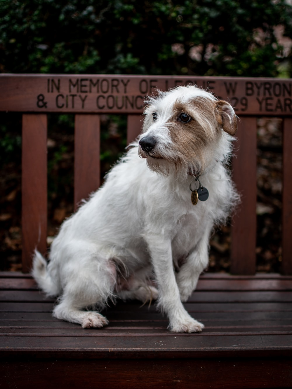 medium short-coated white and brown dog on wooden bench
