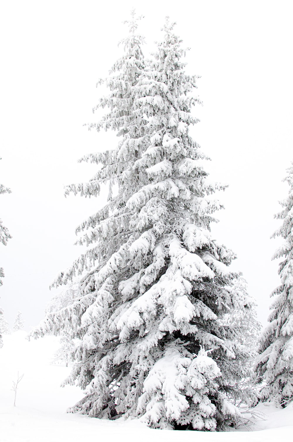 two snow-covered trees