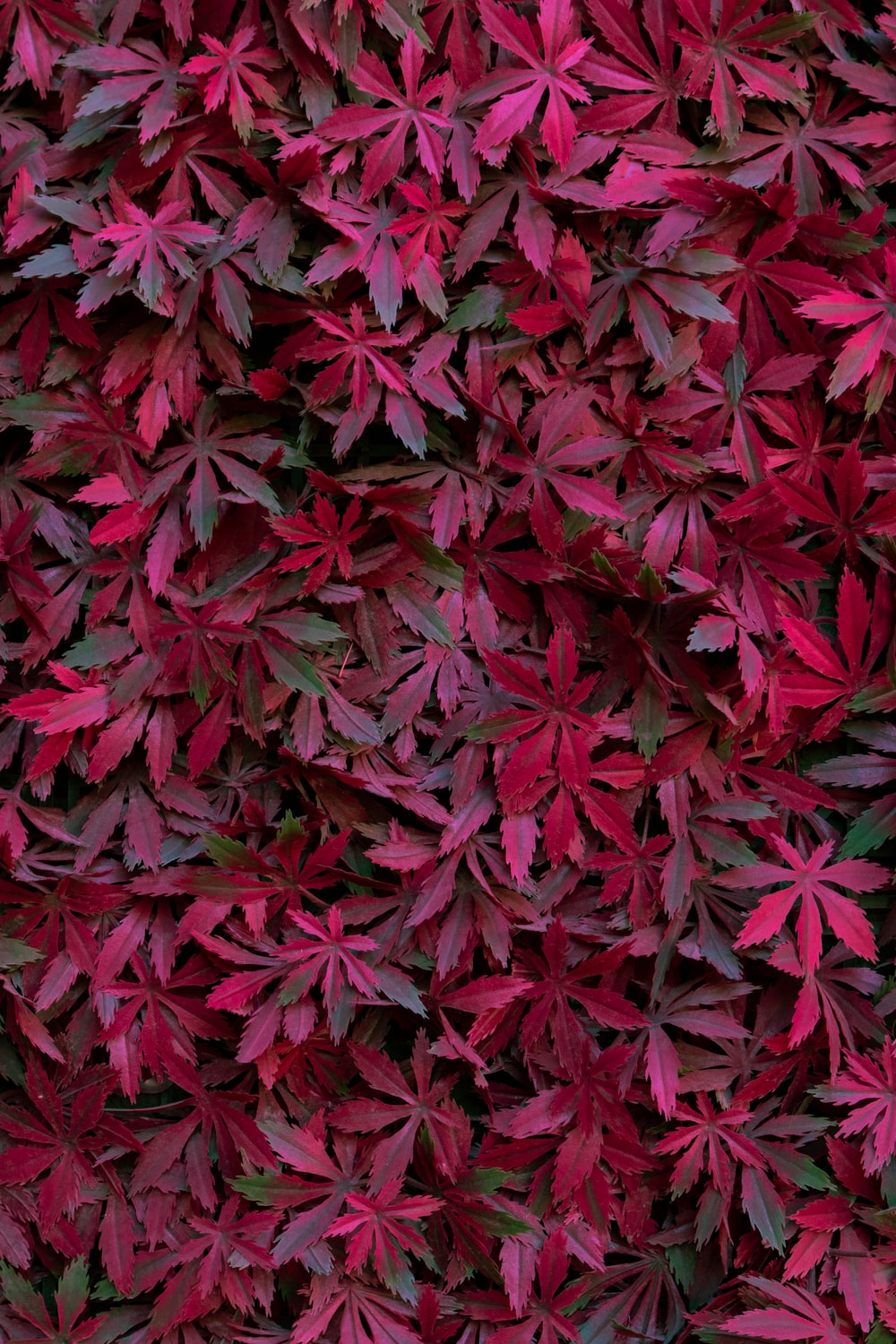 maroon leaves