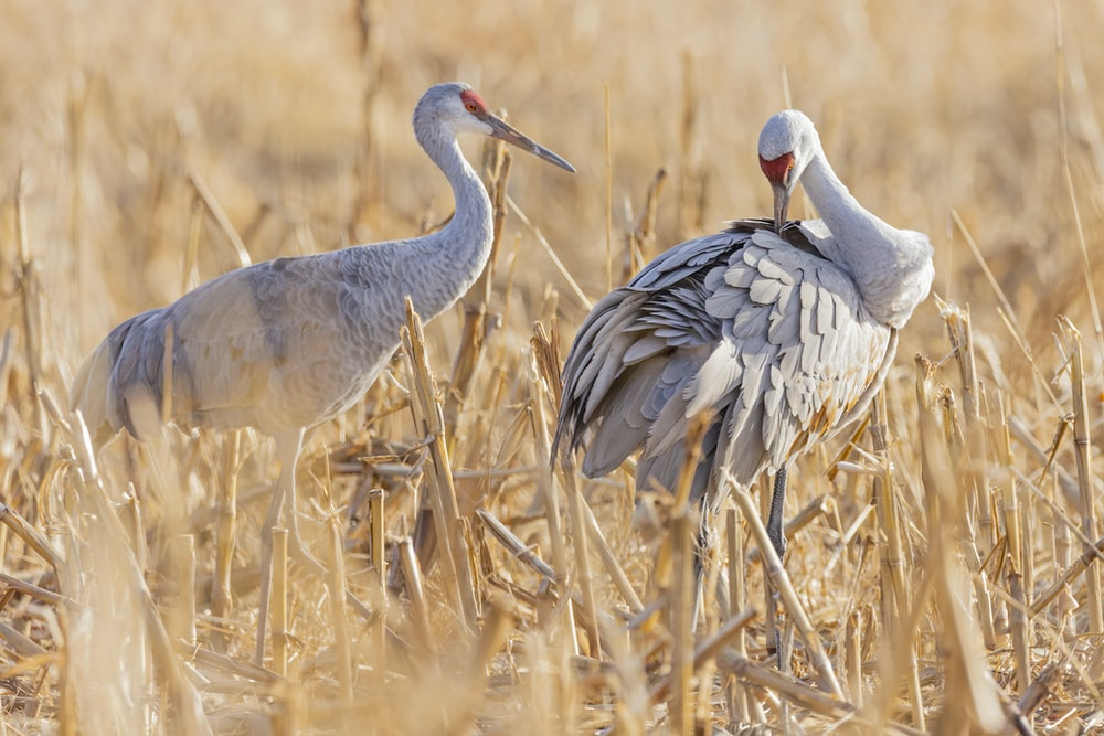 two white birds surrounded by brown wilted grass