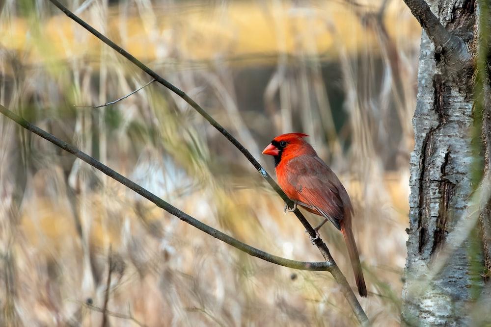 red cardinal bird perching on a twig
