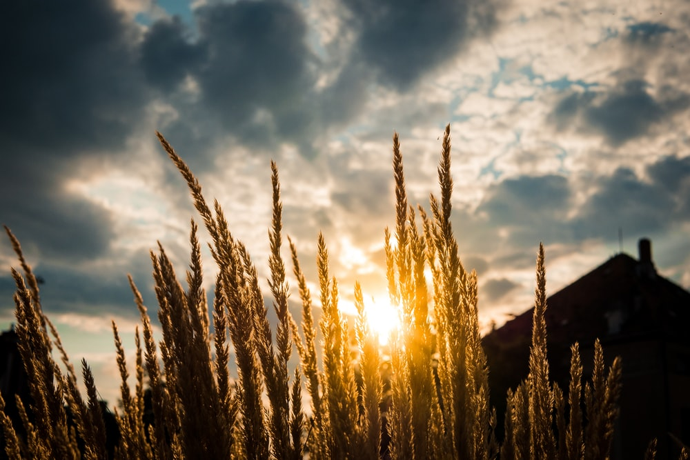 macro photography of brown wheat during sunrise