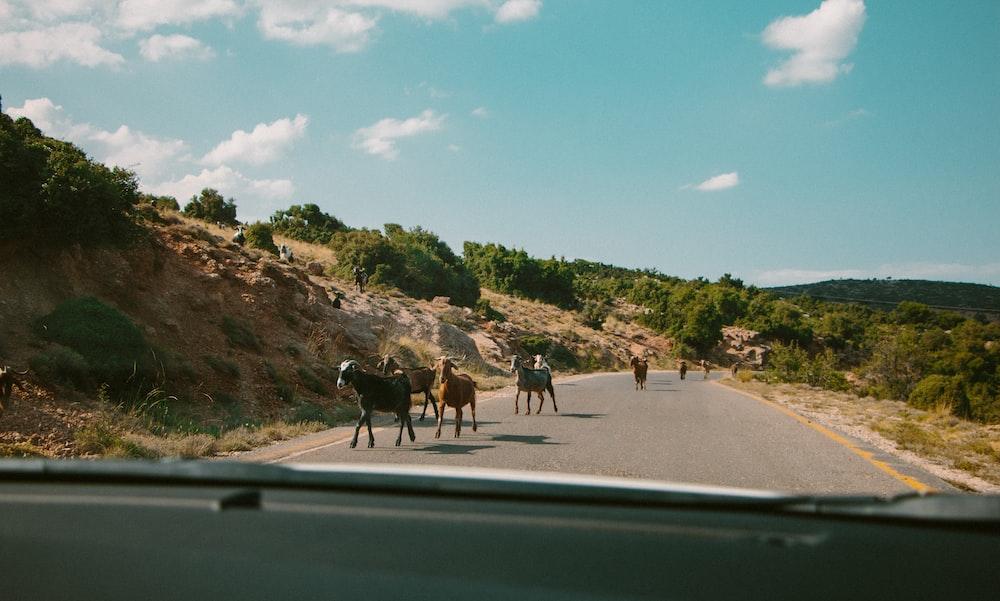 animals walking along the road
