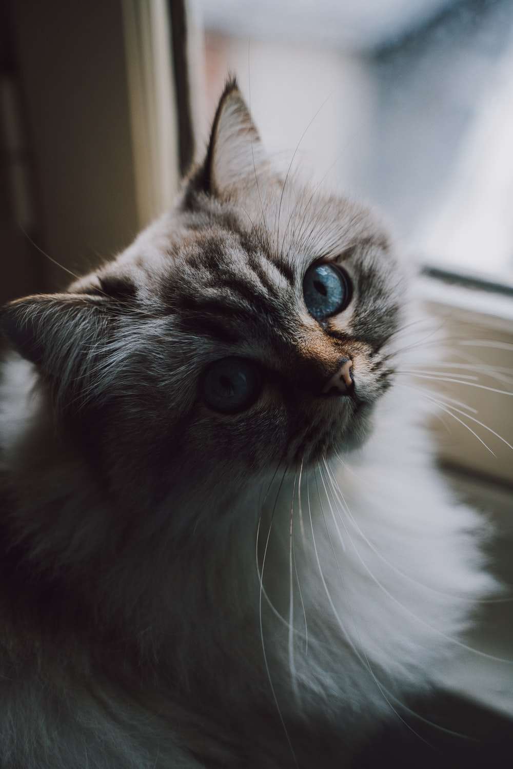 white and brown Persian cat