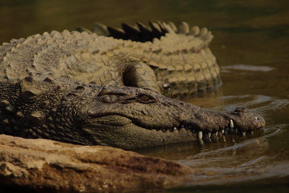 shallow focus photo of brown alligator