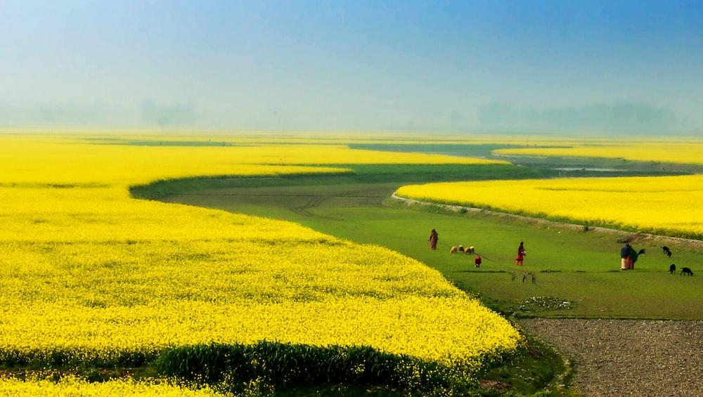 people on green field near yellow flower field
