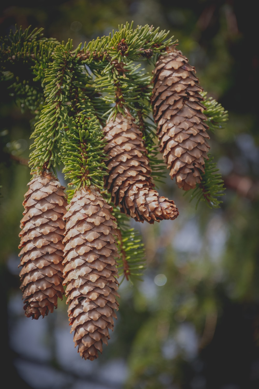 macro photography of brown pinecones