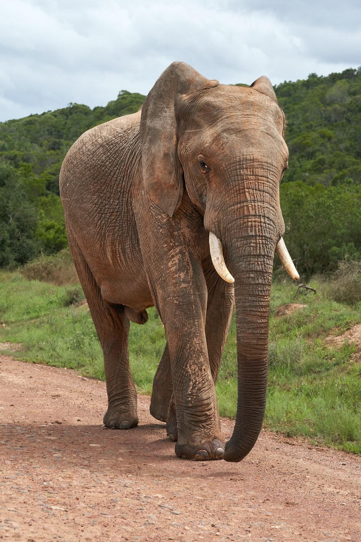 brown elephant on dirt road