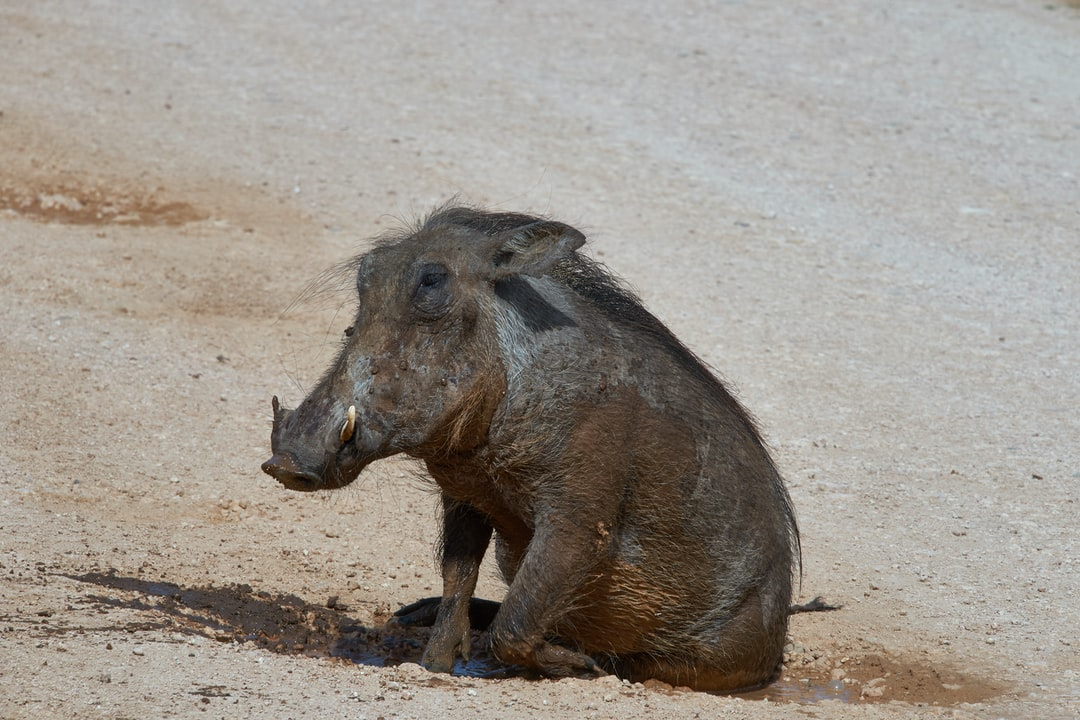 mud bath minimalism is sometimes sufficient for this warthog